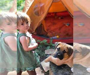 Boerboel Puppy for sale in INDIAN HILLS, CO, USA