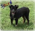 Spark  Mini Black Tri Male Aussie