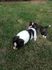 Akita Puppy For Sale in ROANOKE, VA, USA