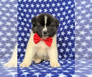 Akita Dog for Adoption in PARADISE, Pennsylvania USA