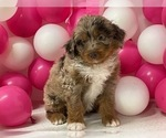 Puppy 6 Aussiedoodle Miniature