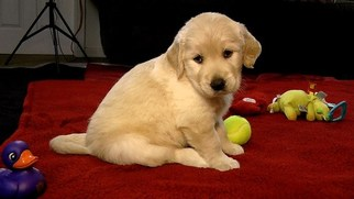 Golden Retriever Puppy For Sale in AVA, MO
