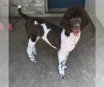 Small Photo #1 Pyredoodle Puppy For Sale in MARION, TX, USA