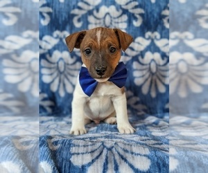 Jack Russell Terrier Puppy for sale in COLERAIN, PA, USA