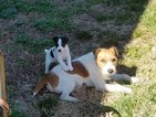 Jack Russell Terrier Puppy For Sale in FAIRMOUNT, GA, USA