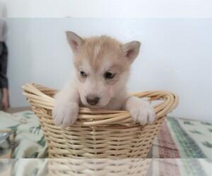 Siberian Husky Puppy for sale in OTTAWA HILLS, OH, USA