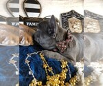 Small Photo #2 French Bulldog Puppy For Sale in HEATHROW, FL, USA