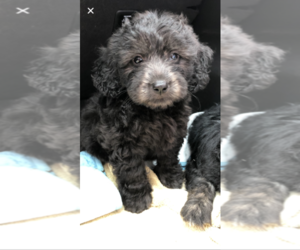 Goldendoodle (Miniature) Puppy for sale in SALEM, NH, USA