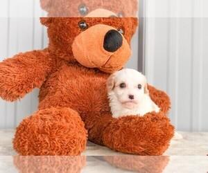 Cavachon Puppy for sale in AMITY, NC, USA