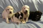 Pyredoodle Puppy For Sale in VERGENNES, IL,