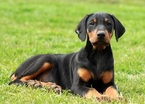 Doberman Pinscher Puppy For Sale in COOPERSBURG, PA, USA