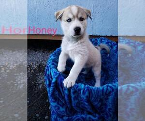 Alusky Puppy for Sale in VANCOUVER, Washington USA