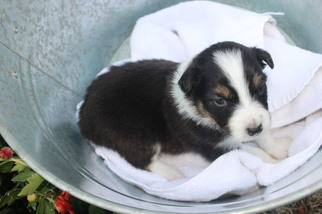 Australian Shepherd Puppy For Sale in PENDLETON, OR, USA