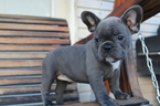 French Bulldog Puppy For Sale in DURANT, OK,