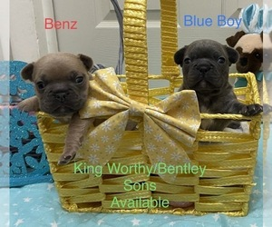 French Bulldog Puppy for Sale in CHEYENNE, Wyoming USA