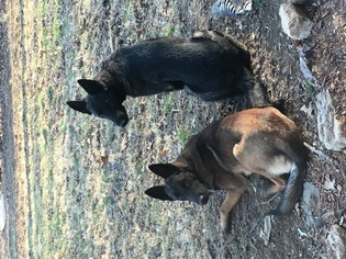 Malinois Puppy For Sale in LANDISBURG, PA, USA