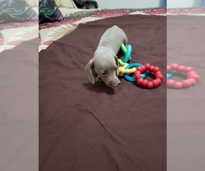 Dachshund Puppy for sale in RICHMOND, TX, USA