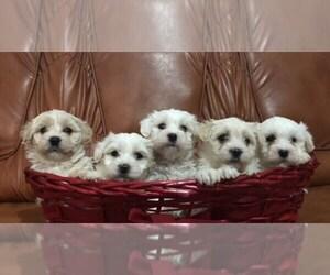 Maltese Puppy for sale in Zimnicea, Teleorman, Romainia
