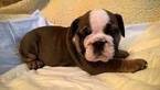 English Bulldog Puppy For Sale in LONG BEACH, CA, USA