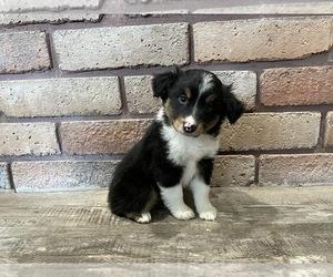 Miniature Australian Shepherd Puppy for sale in BILLINGS, MT, USA
