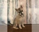 Small #1 Alaskan Klee Kai