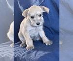 Puppy 6 Schnauzer (Miniature)