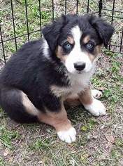 Australian Shepherd Puppy For Sale in COOPERSTOWN, NY, USA