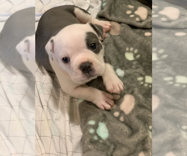 Medium Photo #1 Olde English Bulldogge Puppy For Sale in BOSSIER CITY, LA, USA