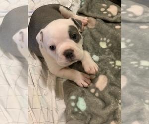 Olde English Bulldogge Puppy for Sale in BOSSIER CITY, Louisiana USA