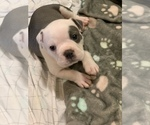 Small Photo #1 Olde English Bulldogge Puppy For Sale in BOSSIER CITY, LA, USA