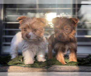 Yorkshire Terrier Puppy for sale in MODESTO, CA, USA