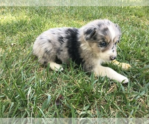 Border-Aussie Dog for Adoption in LOMA, Colorado USA