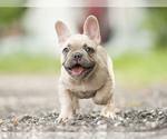 Small #2 French Bulldog