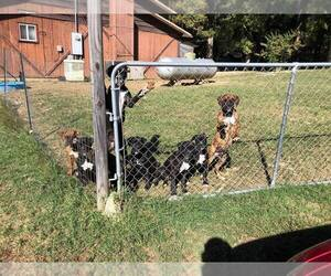 Boxer Dogs for adoption in BISMARCK, AR, USA