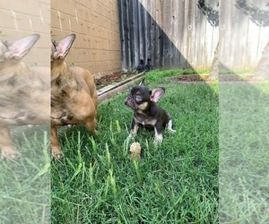 French Bulldog Puppy for Sale in BLOOMINGTON, Minnesota USA