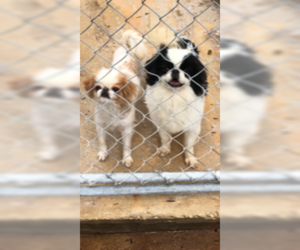 Father of the Japanese Chin puppies born on 02/16/2019
