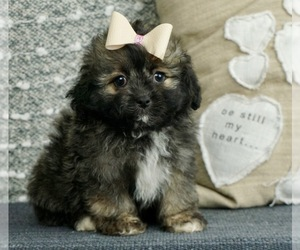 Poodle (Toy)-Shih Tzu Mix Puppy for Sale in WARSAW, Indiana USA