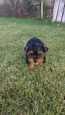Yorkshire Terrier Puppy For Sale in INDIANAPOLIS, IN, USA