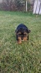 Yorkshire Terrier Puppy For Sale in INDIANAPOLIS, IN,
