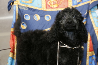 Poodle (Standard) Puppy For Sale in DENVER, CO