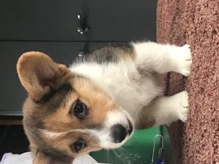 Pembroke Welsh Corgi Puppy For Sale in LAKE WORTH, FL, USA