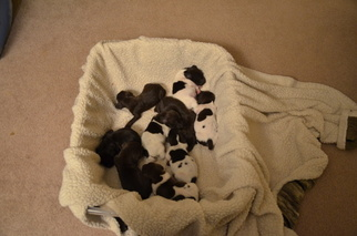 German Shorthaired Pointer Puppy For Sale in NORTH OLMSTED, OH, USA