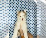 Puppy 1 Alaskan Husky