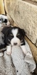Australian Shepherd Puppy For Sale in KERRVILLE, TX, USA