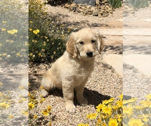 Golden Retriever Puppy for sale in HURRICANE, UT, USA