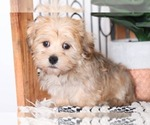Lucky Handsome Male Morkie Puppy