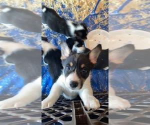 Pembroke Welsh Corgi Puppy for sale in SOMERSET, WI, USA