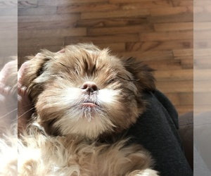 Shih Tzu Puppy for sale in TAYLORSVILLE, GA, USA