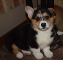 Pembroke Welsh Corgi Puppy For Sale in HELENA, MT, USA