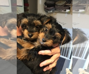 Yorkshire Terrier Puppy for Sale in MONETA, Virginia USA